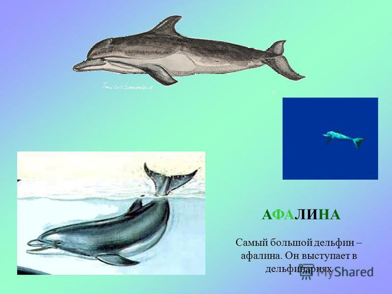 В море живут дельфины. Если они подплывут близко к берегу, мы сможем увидеть над водой их черные спины. ДЕЛЬФИНЫ