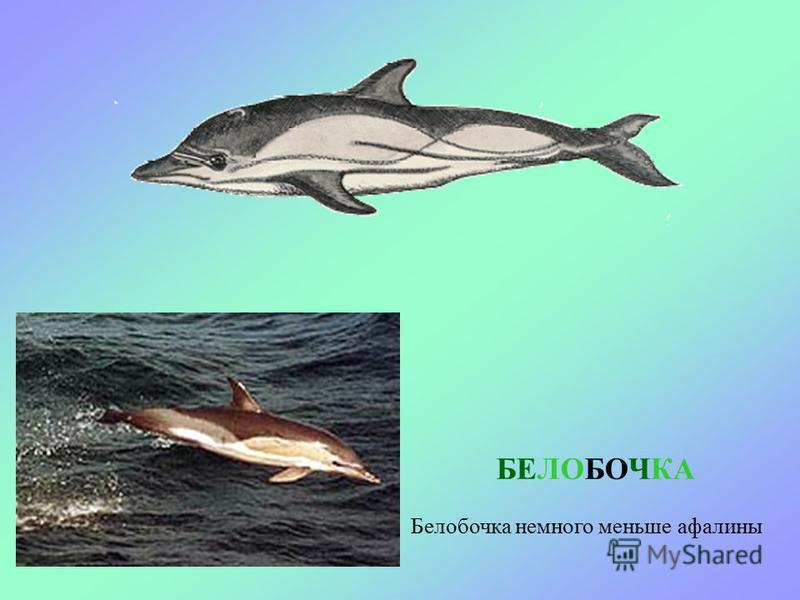 АФАЛИНА Самый большой дельфин – афалина. Он выступает в дельфинариях