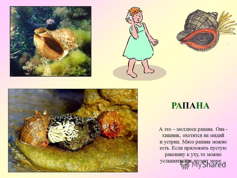 Это – мидии. Они живут, прикрепившись к камням. Мидии – очень полезные моллюски. Они очищают морскую воду Иногда в большой мидии можно отыскать жемчужину. Мидии можно есть. МИДИЯ