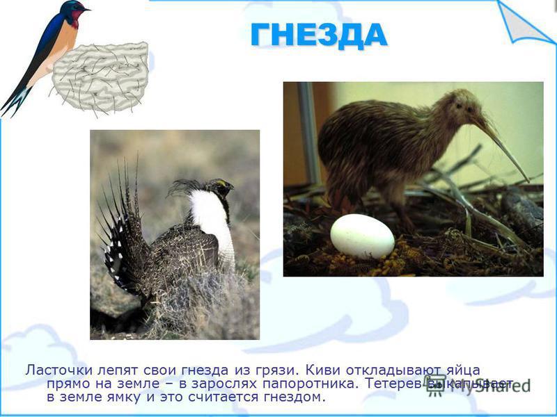 ЯЙЦА Птицы откладывают и высиживают яйца по разному. Обычно яйца имеют белую окраску, а у малиновки они голубого цвета.