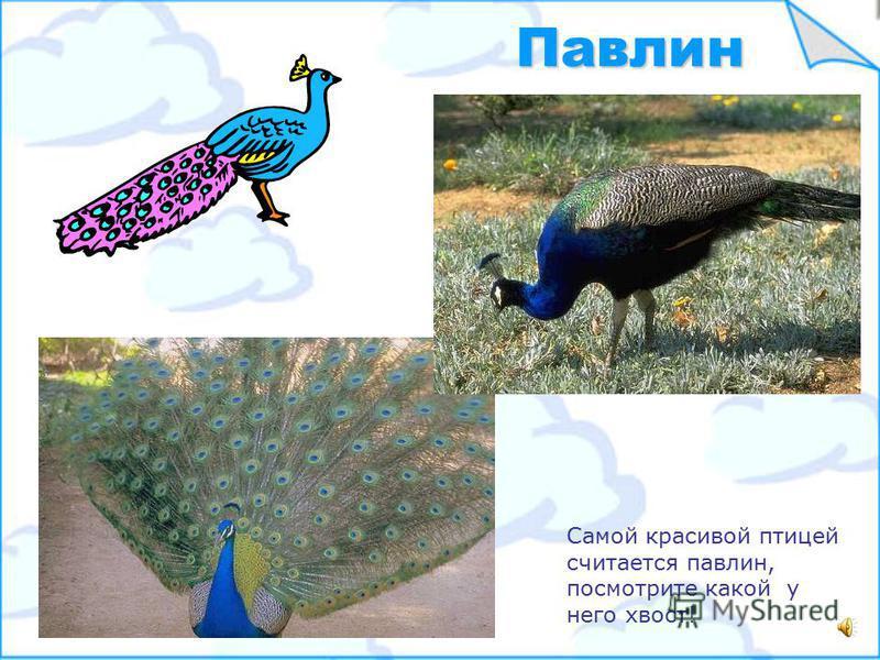 Есть птицы красивые, необычные с ярким оперением, например, тукан, кардинал, попугай, розовый фламинго. А бывают серые невзрачные птички – воробей, утка, голубь… Птицы красивые и невзрачные