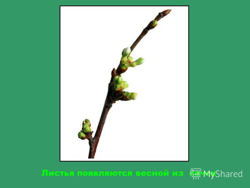 А это листья дуба