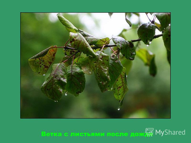 Листья появляются весной из почек