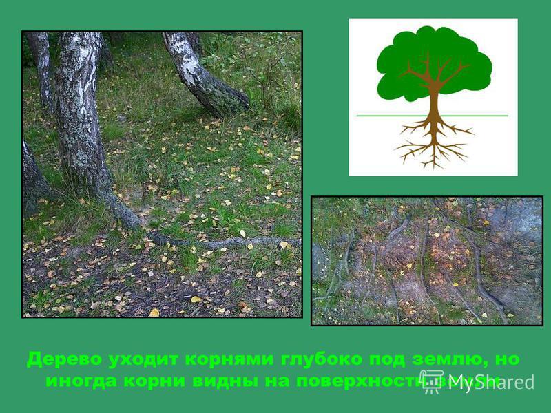 Кора дерева – жилище для насекомых, в щелях они откладывают свои личинки