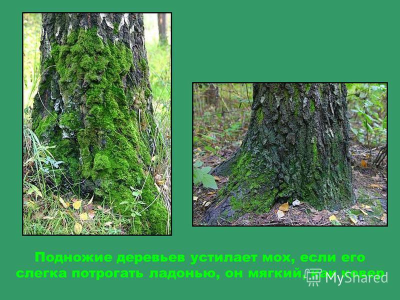 Дерево уходит корнями глубоко под землю, но иногда корни видны на поверхности земли