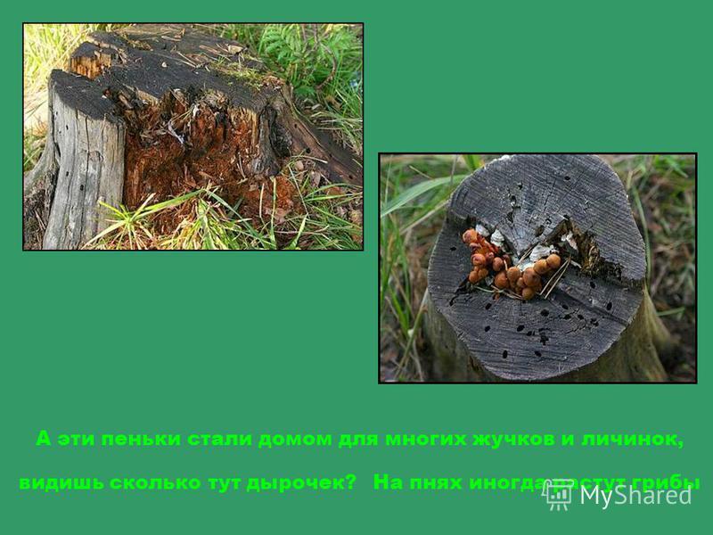 Пенек, это то что остается от дерева, когда его спилят