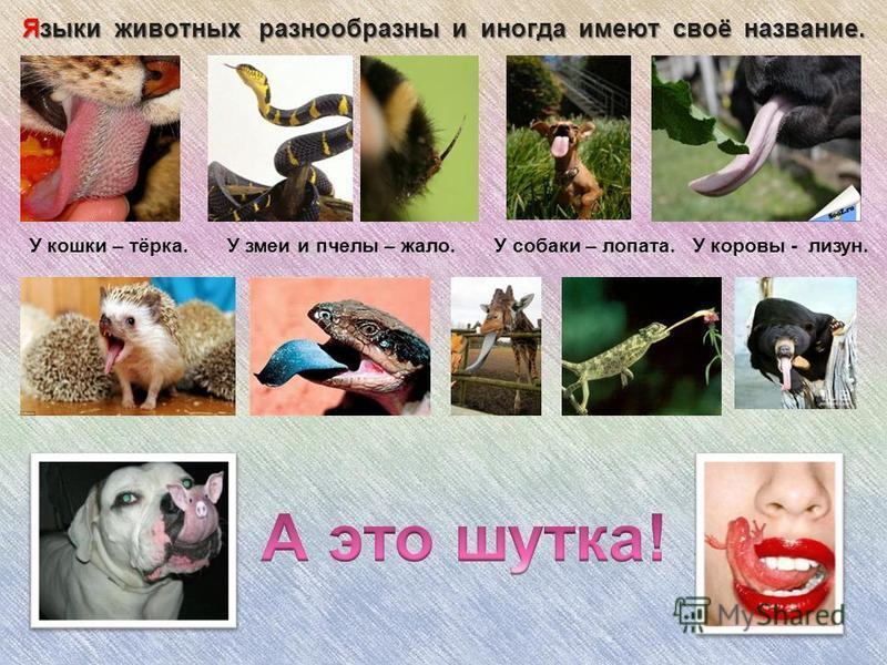 Языки животных разнообразны и иногда имеют своё название. У кошки – тёрка. У змеи и пчелы – жало. У собаки – лопата. У коровы - лизун.