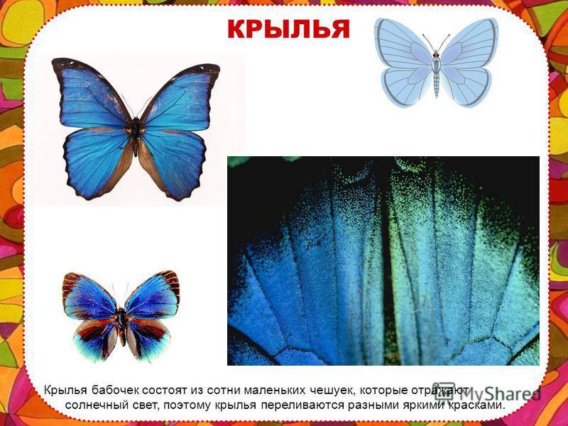НОЧНЫЕ БАБОЧКИ А ночные крыльев не складывают или складывают совсем по другому – домиком. Думаю, теперь ты легко отличишь дневную бабочку от ночной.