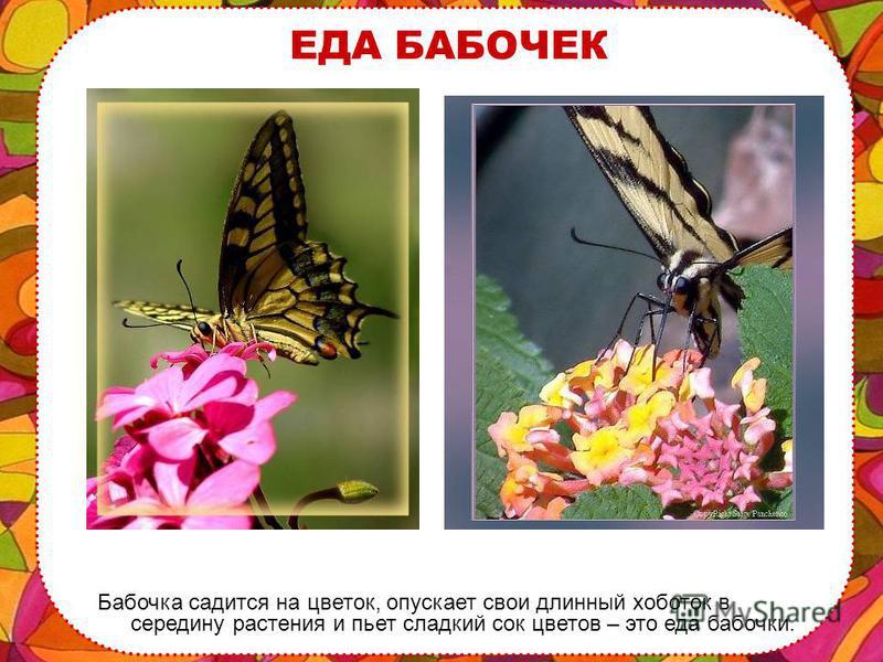ЖИЗНЬ БАБОЧЕК Нашей бабочке нужно всюду успеть – ведь жизнь так коротка! Всего одно лето живет бабочка или даже несколько дней.