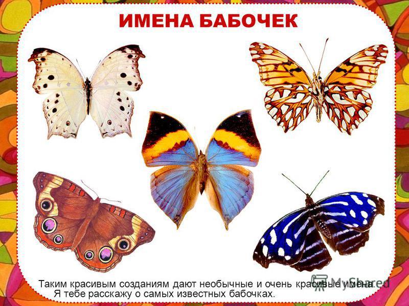 ЕДА БАБОЧЕК Бабочка садится на цветок, опускает свои длинный хоботок в середину растения и пьет сладкий сок цветов – это еда бабочки.