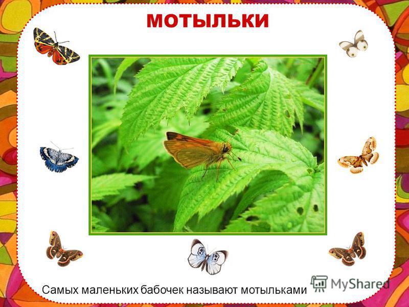 ПЕРЛАМУТРОВКА На севере, где лето короткое и прохладное, тоже есть бабочки. Вот перламутровка полярная, она живет и летает даже за Полярным кругом, где всегда холодно!