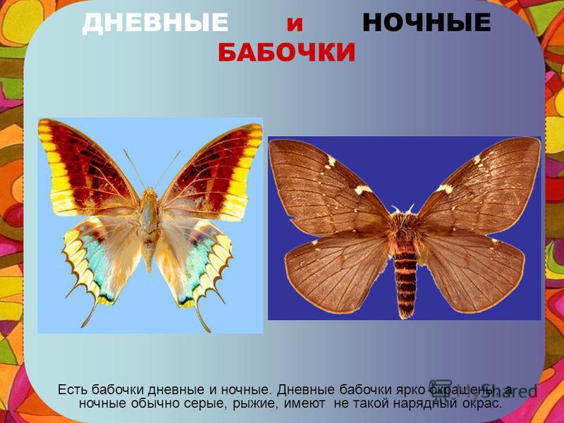 ПТИЦЕКРЫЛ КОРОЛЕВЫ АЛЕКСАНДРЫ Самая большая бабочка – размах крыльев до 30 см, если нарисовать такую бабочку в полный рост страницы не хватит!