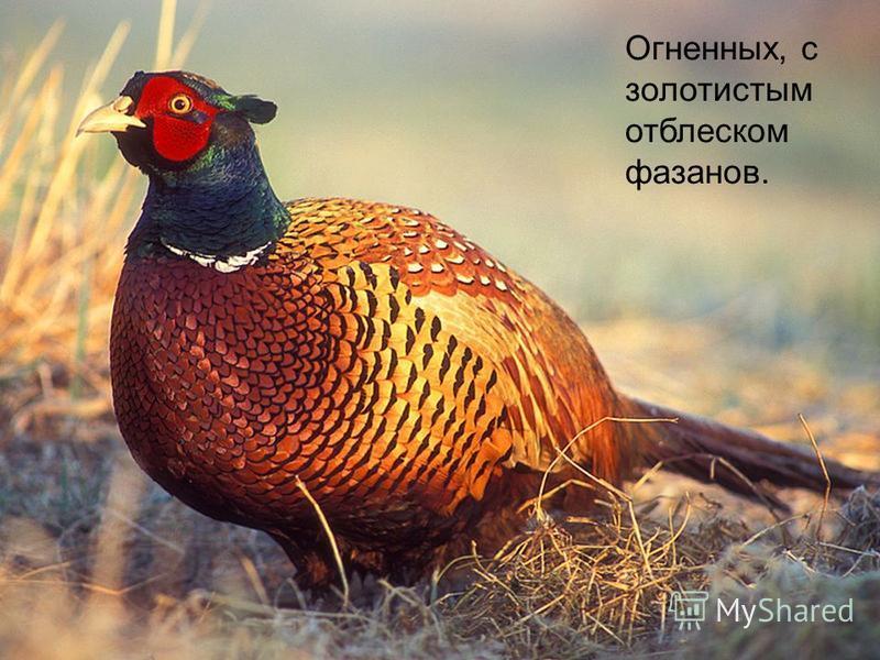 Огненных, с золотистым отблеском фазанов.