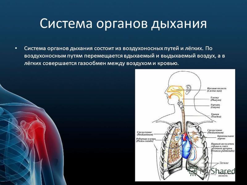 Система органов дыхания Система органов дыхания состоит из воздухоносных путей и лёгких. По воздухоносным путям перемещается вдыхаемый и выдыхаемый воздух, а в лёгких совершается газообмен между воздухом и кровью.