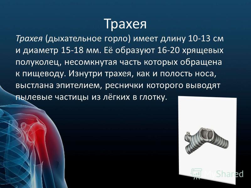 Трахея Трахея (дыхательное горло) имеет длину 10-13 см и диаметр 15-18 мм. Её образуют 16-20 хрящевых полуколец, несомкнутая часть которых обращена к пищеводу. Изнутри трахея, как и полость носа, выстлана эпителием, реснички которого выводят пылевые