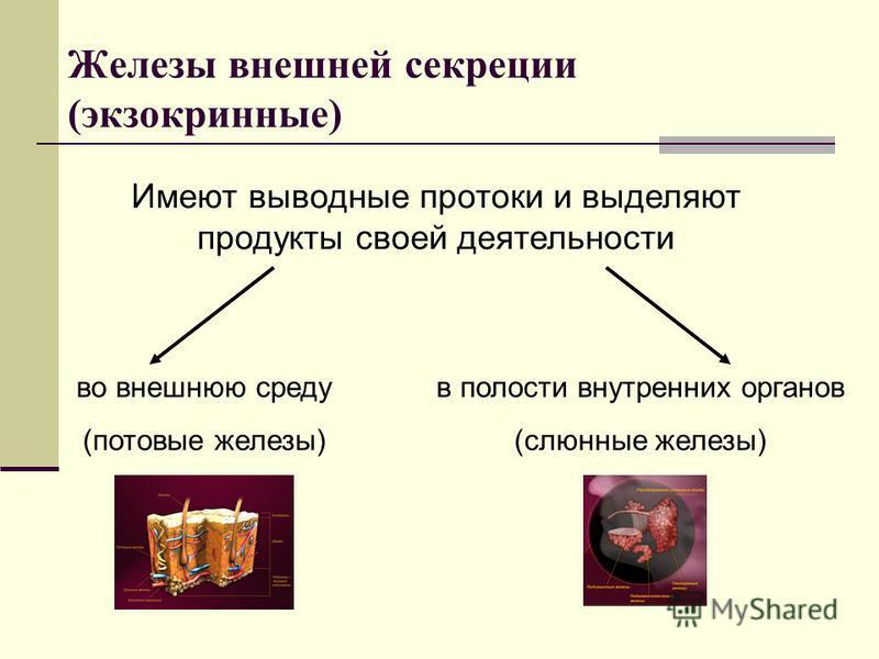 Железы внешней секреции (экзокринные) Имеют выводные протоки и выделяют продукты своей деятельности во внешнюю среду (потовые железы) в полости внутренних органов (слюнные железы)