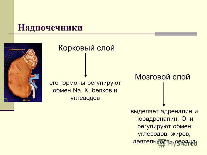 Надпочечники Корковый слой его гормоны регулируют обмен Na, К, белков и углеводов Мозговой слой выделяет адреналин и норадреналин. Они регулируют обмен углеводов, жиров, деятельность сердца