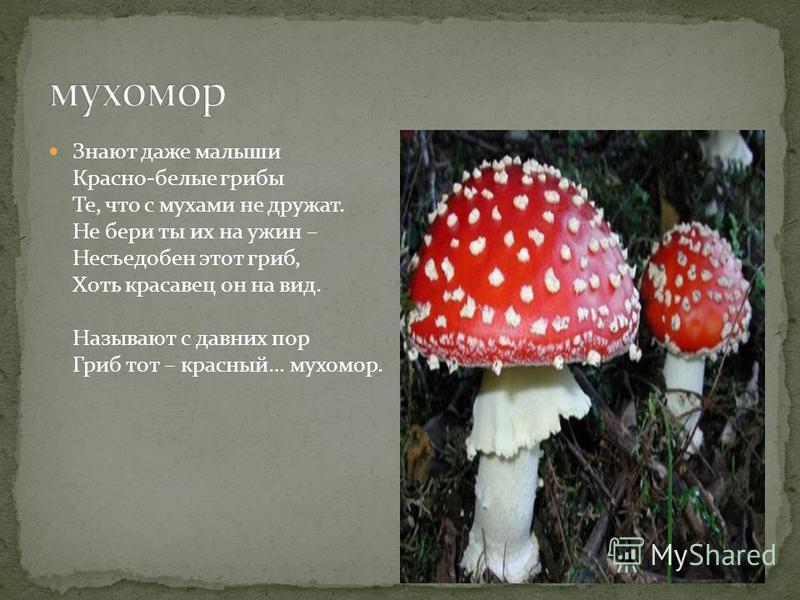 Знают даже малыши Красно-белые грибы Те, что с мухами не дружат. Не бери ты их на ужин – Несъедобен этот гриб, Хоть красавец он на вид. Называют с давних пор Гриб тот – красный… мухомор.