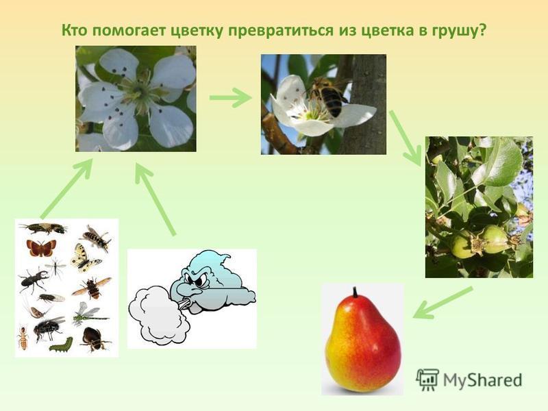 Кто помогает цветку превратиться из цветка в грушу?
