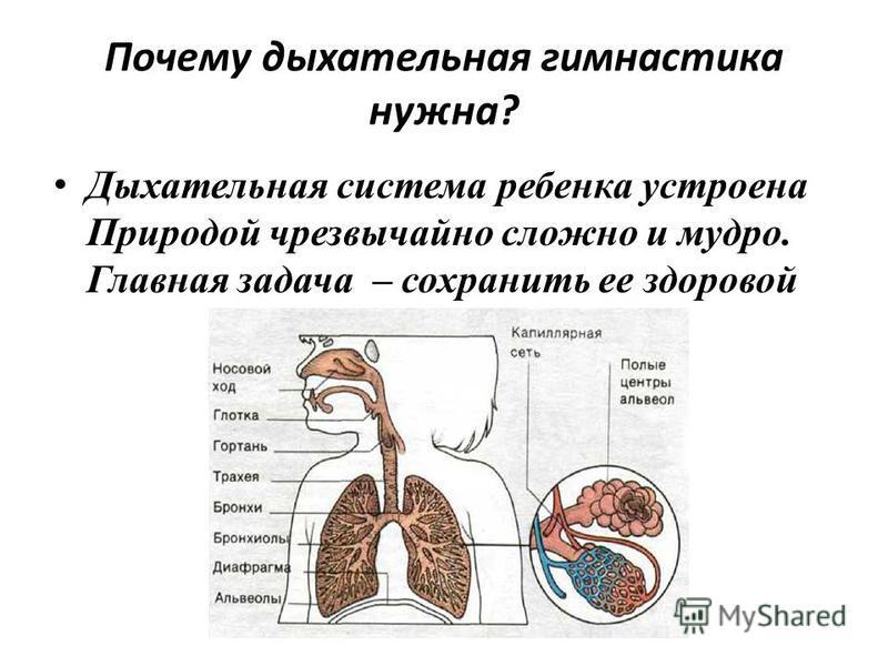 Почему дыхательная гимнастика нужна? Дыхательная система ребенка устроена Природой чрезвычайно сложно и мудро. Главная задача – сохранить ее здоровой