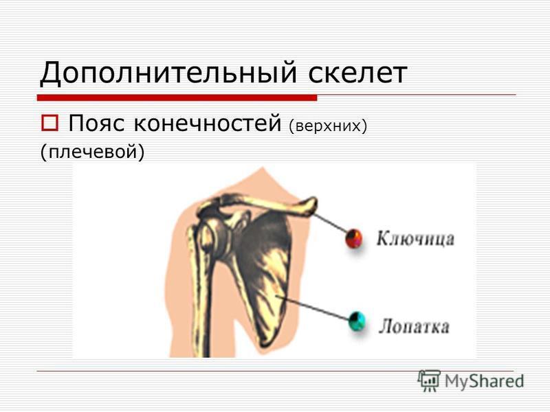 Дополнительный скелет Пояс конечностей (верхних) (плечевой)