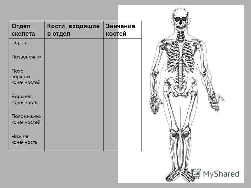 Отдел скелета Кости, входящие в отдел Значение костей Череп Позвоночник Пояс верхних конечностей Верхняя конечность Пояс нижних конечностей Нижняя конечность