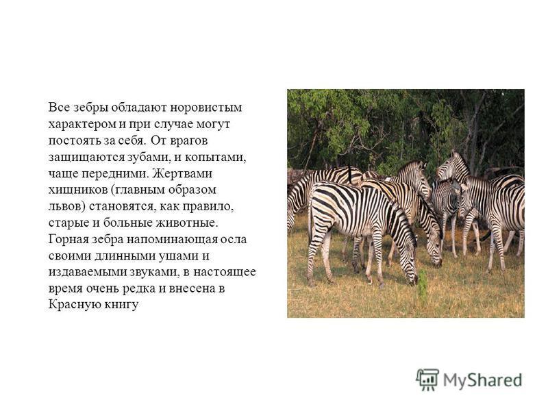 Все зебры обладают норовистым характером и при случае могут постоять за себя. От врагов защищаются зубами, и копытами, чаще передними. Жертвами хищников (главным образом львов) становятся, как правило, старые и больные животные. Горная зебра напомина