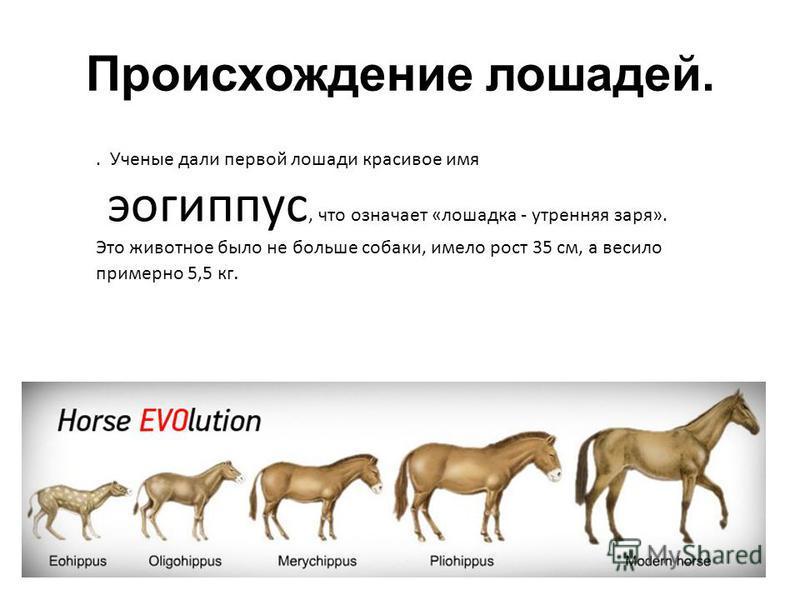 Происхождение лошадей.. Ученые дали первой лошади красивое имя эогиппус, что означает «лошадка - утренняя заря». Это животное было не больше собаки, имело рост 35 см, а весило примерно 5,5 кг.