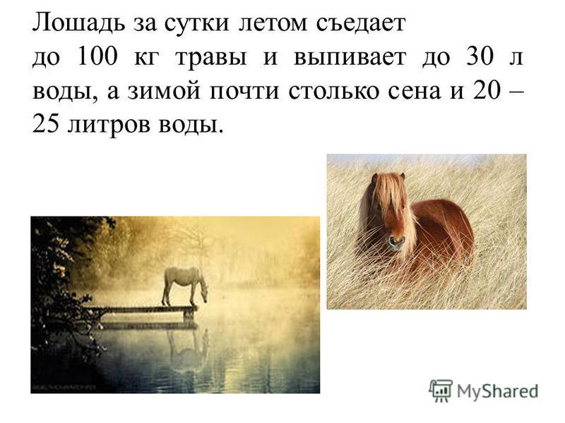 Лошадь за сутки летом съедает до 100 кг травы и выпивает до 30 л воды, а зимой почти столько сена и 20 – 25 литров воды.