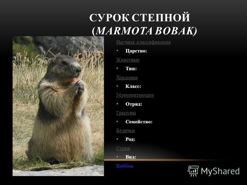Научная классификация Царство: Животные Тип: Хордовые Класс: Млекопитающие Отряд: Грызуны Семейство: Беличьи Род: Сурки Вид: Байбак СУРОК СТЕПНОЙ (MARMOTA BOBAK)