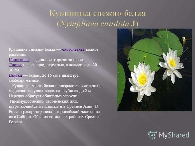 Кувшинка снежно- белая многолетнее водное растение.многолетнее Корневище Корневище длинное, горизонтальное. Листья Листья плавающие, округлые, в диаметре до 20 30 см. Цветки Цветки белые, до 15 см в диаметре, слабо ароматные. Кувшинка чисто-белая про