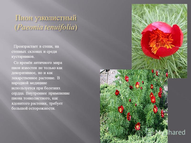 Пион узколистный (Paeonia tenuifolia) Произрастает в степи, на степных склонах и среди кустарников. Со времён античного мира пион известен не только как декоративное, но и как лекарственное растение. В народной медицине используется при болезнях серд