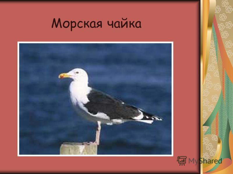 Морская чайка