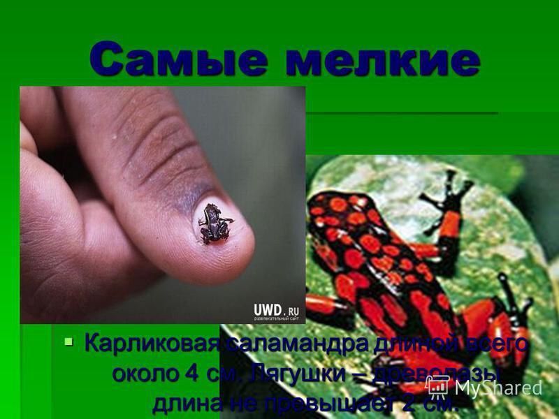 Самые мелкие Карликовая саламандра длиной всего около 4 см. Лягушки – древолазы длина не превышает 2 см. Карликовая саламандра длиной всего около 4 см. Лягушки – древолазы длина не превышает 2 см.