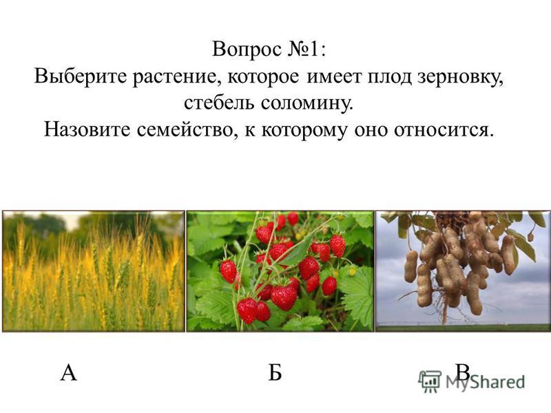 Вопрос 1: Выберите растение, которое имеет плод зерновку, стебель соломину. Назовите семейство, к которому оно относится. АБВ