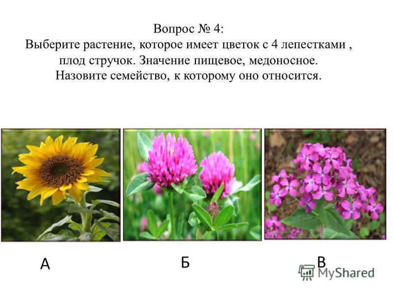 А Б В Вопрос 4: Выберите растение, которое имеет цветок с 4 лепестками, плод стручок. Значение пищевое, медоносное. Назовите семейство, к которому оно относится.