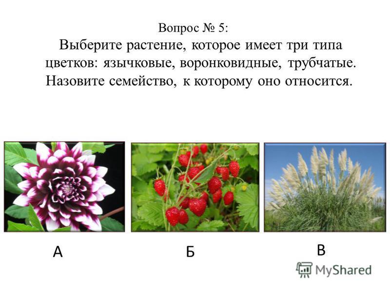 Вопрос 5: Выберите растение, которое имеет три типа цветков: язычковые, воронковидные, трубчатые. Назовите семейство, к которому оно относится. АБ В