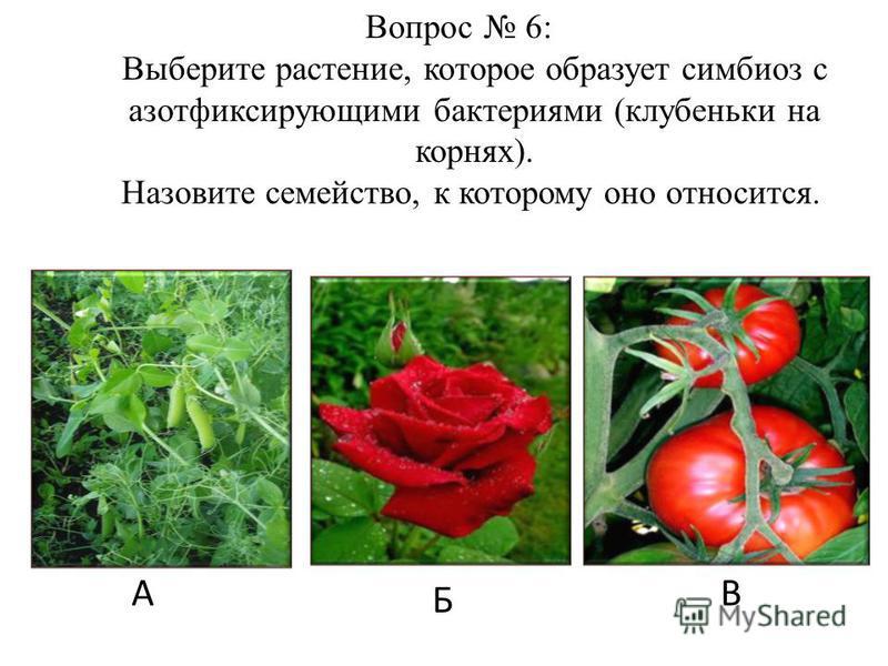 А Б В Вопрос 6: Выберите растение, которое образует симбиоз с азотфиксирующими бактериями (клубеньки на корнях). Назовите семейство, к которому оно относится.