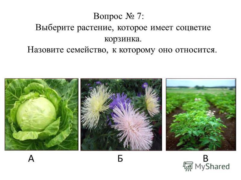 АБВ Вопрос 7: Выберите растение, которое имеет соцветие корзинка. Назовите семейство, к которому оно относится.