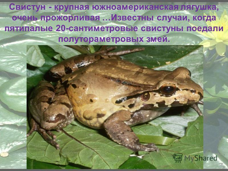 Свистун - крупная южноамериканская лягушка, очень прожорливая …Известны случаи, когда пятипалые 20-сантиметровые свистуны поедали полутораметровых змей.