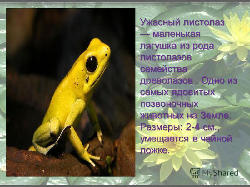 Ужасный листолаз маленькая лягушка из рода листолазов семейства древолазов. Одно из самых ядовитых позвоночных животных на Земле. Размеры: 2-4 см., умещается в чайной ложке.