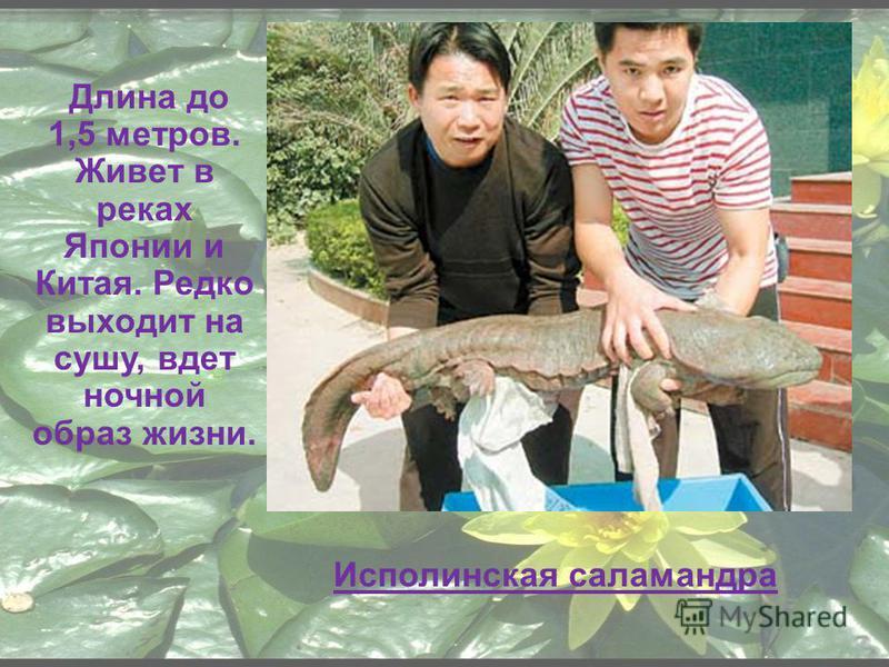 Длина до 1,5 метров. Живет в реках Японии и Китая. Редко выходит на сушу, вдет ночной образ жизни. Исполинская саламандра