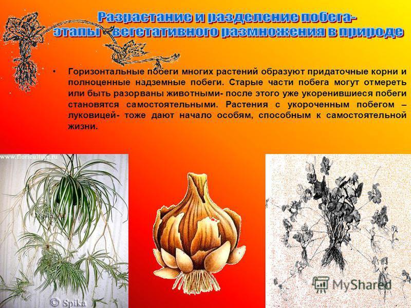 Горизонтальные побеги многих растений образуют придаточные корни и полноценные надземные побеги. Старые части побега могут отмереть или быть разорваны животными- после этого уже укоренившиеся побеги становятся самостоятельными. Растения с укороченным