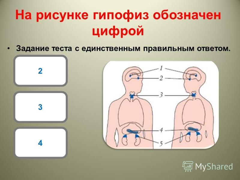 На рисунке гипофиз обозначен цифрой Задание теста с единственным правильным ответом. 2 3 4