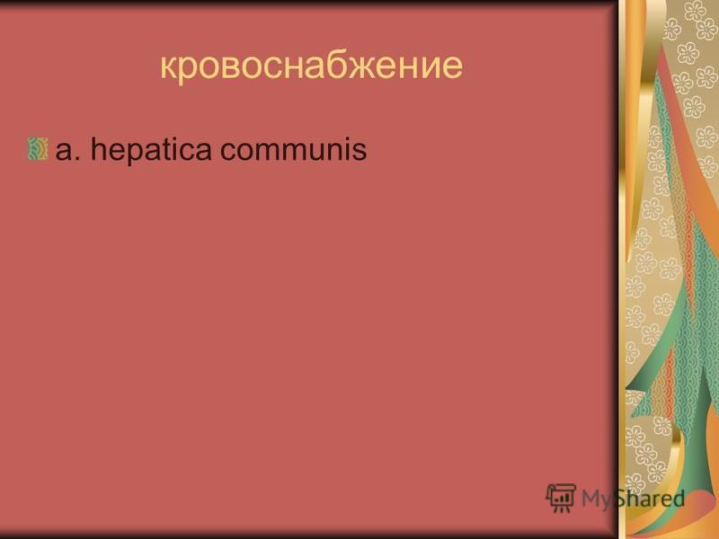 кровоснабжение a. hepatica communis