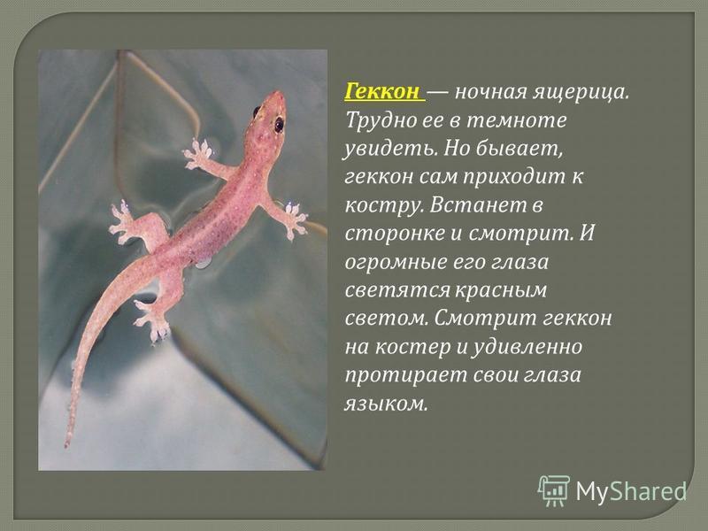 Геккон ночная ящерица. Трудно ее в темноте увидеть. Но бывает, геккон сам приходит к костру. Встанет в сторонке и смотрит. И огромные его глаза светятся красным светом. Смотрит геккон на костер и удивленно протирает свои глаза языком.