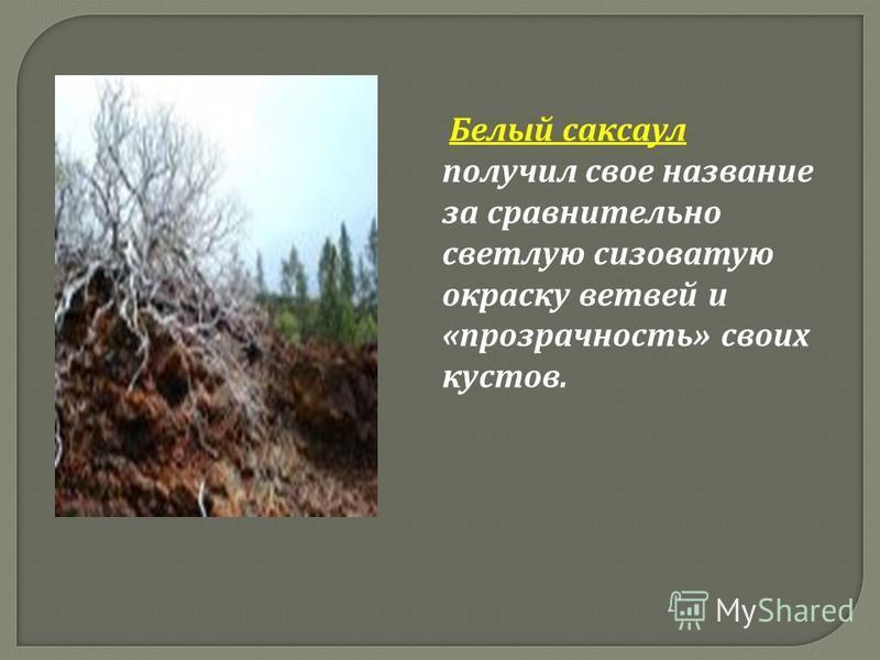 Б елый саксаул получил с вое название за сравнительно светлую с сизоватую окраску ветвей и « прозрачность » своих кустов.
