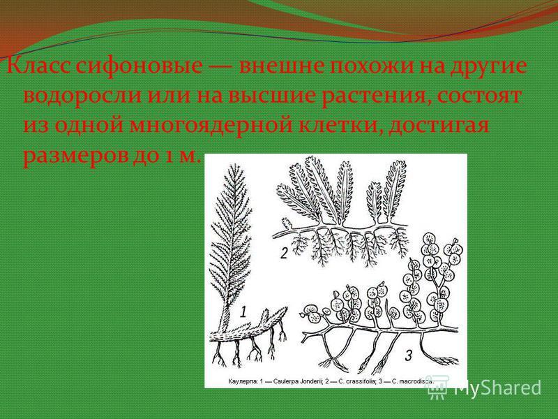 Класс сифоновые внешне похожи на другие водоросли или на высшие растения, состоят из одной многоядерной клетки, достигая размеров до 1 м.