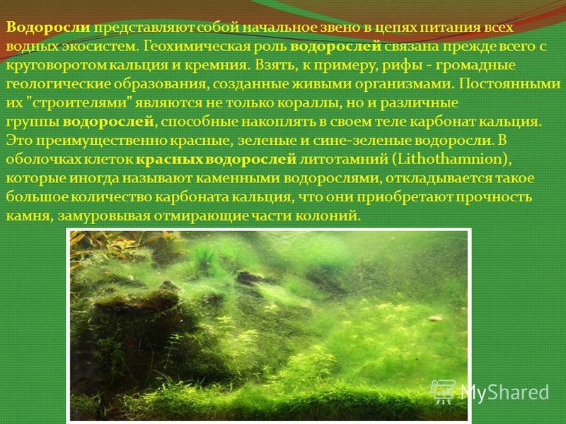 Водоросли представляют собой начальное звено в цепях питания всех водных экосистем. Геохимическая роль водорослей связана прежде всего с круговоротом кальция и кремния. Взять, к примеру, рифы - громадные геологические образования, созданные живыми ор