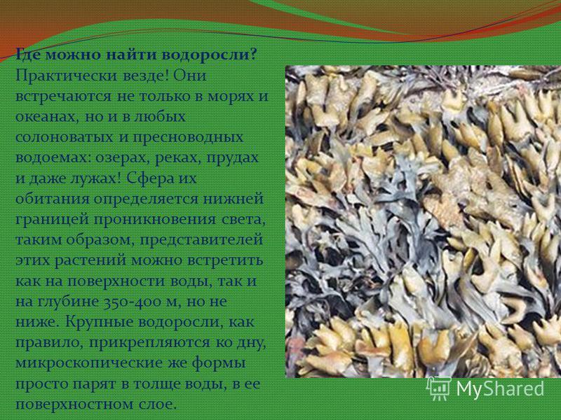 Где можно найти водоросли? Практически везде! Они встречаются не только в морях и океанах, но и в любых солоноватых и пресноводных водоемах: озерах, реках, прудах и даже лужах! Сфера их обитания определяется нижней границей проникновения света, таким